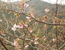 DITOのブログ-桜